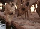 Camels Drinking - Wadi Rum Desert Tours