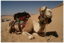 Friendly Camel - Wadi Rum Desert Tours